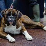 Британская семья клонировала умершего пса за $100 тыс.