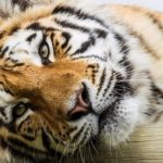 Козел Тимур терят аппетит вотсутствии тигра Амура— Любовь зла