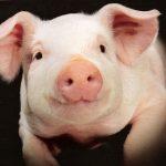 Вближайшем будущем человеку станут пересаживать свиное сердце— Американские ученые